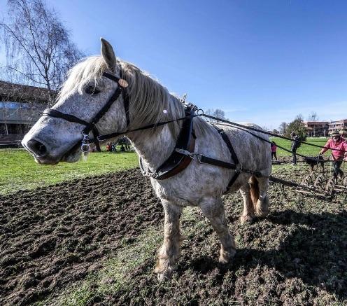 Université de Pau : un cheval pour labourer la terre du campus