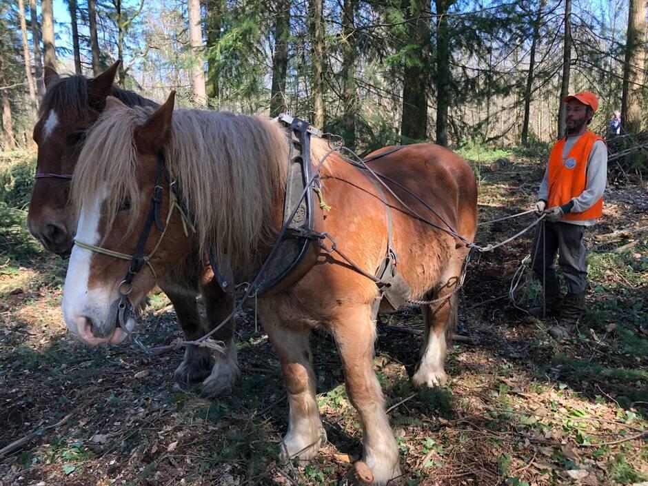 Vendée. Dans les forêts privées, le débardage peut se faire à cheval