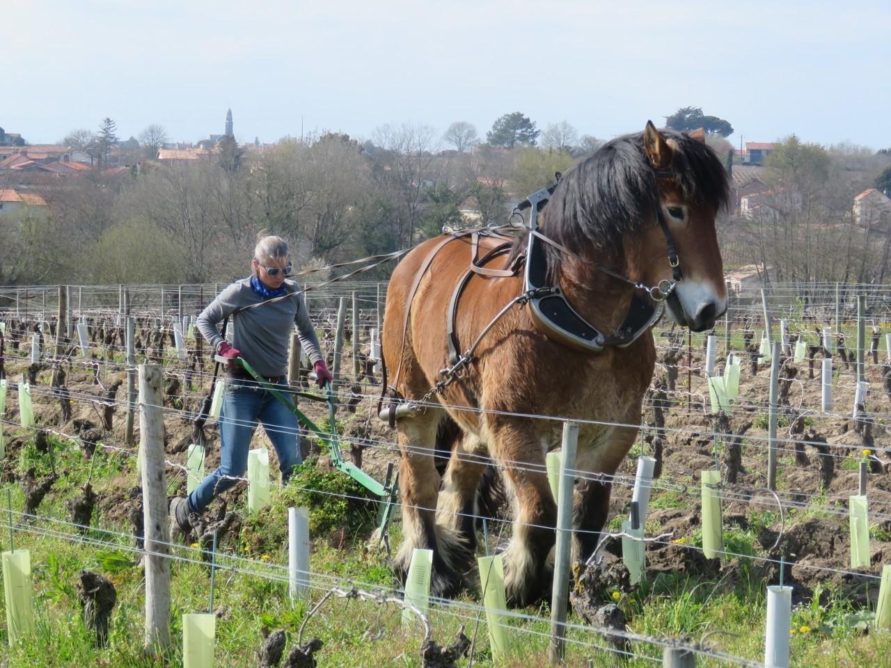 Loire-Atlantique. Le cheval fait son retour dans les vignes de muscadet