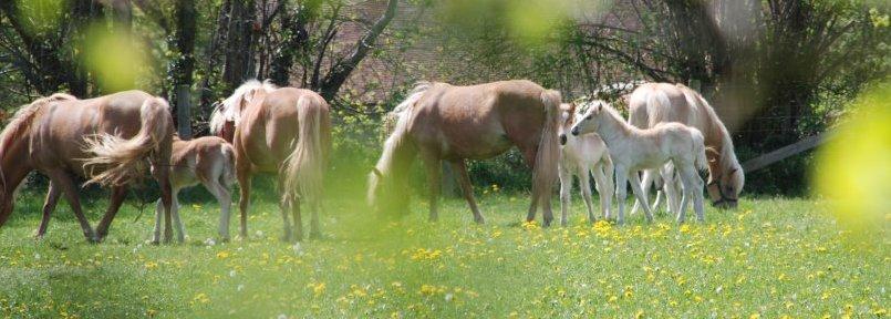 Le haras des Haflinger produit du lait de jument bio