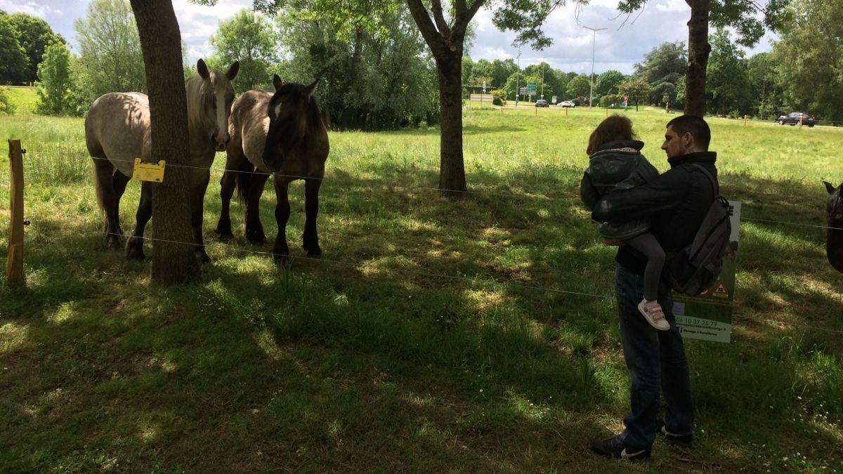 Cholet : de l'éco-pâturage pour sauver les chevaux Trait Poitevin